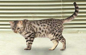加州闪亮猫营养不良怎么办 营养不良解决办法