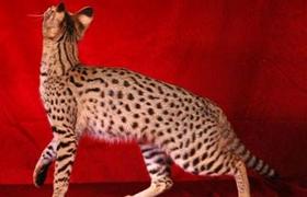 阿舍拉猫猫癣怎么治疗 阿舍拉猫猫癣症状以及治疗方法