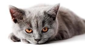 英国长毛猫便秘如何是好 便秘治疗方法