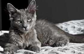 内华达猫肠胃炎怎么治疗 肠胃炎治疗方法