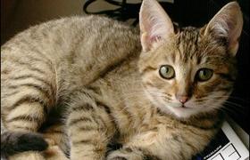 加州闪亮猫异食癖怎么治疗 异食癖治疗方法