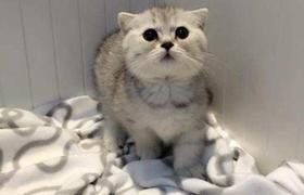曼基康猫脑积水怎么治疗 脑积水治疗方法