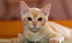 被欧洲缅甸猫咬伤怎么办 欧洲缅甸猫咬伤处理方法