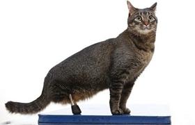 内华达猫便秘怎么办 内华达猫便秘解决办法