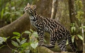 豹猫拉稀如何治疗 拉稀止泻治疗方法