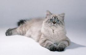 英国长毛猫有虱子怎么治疗 英国长毛猫有虱子治疗方法