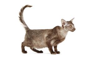 爪哇猫吐黄水怎么回事 爪哇猫吐黄水原因介绍