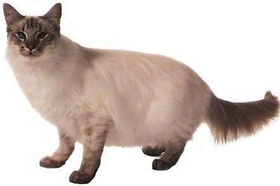 爪哇猫感冒发烧怎么办 爪哇猫感冒发烧解决办法