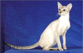 重点色短毛猫过敏有什么症状 重点色短毛猫过敏症状介绍