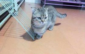 怎么预防曼基康猫肾结石 肾结石预防必备知识