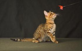玩具虎猫得了肺炎怎么办 肺炎治疗方法