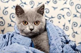 卡尔特猫骨折怎么办 卡尔特猫意外骨折处理方法
