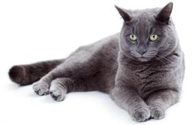 卡尔特猫疥癣病有什么症状 疥癣病症状介绍