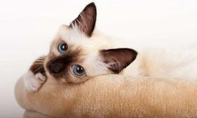 欧洲缅甸猫晕车有哪些表现 欧洲缅甸猫晕车表现