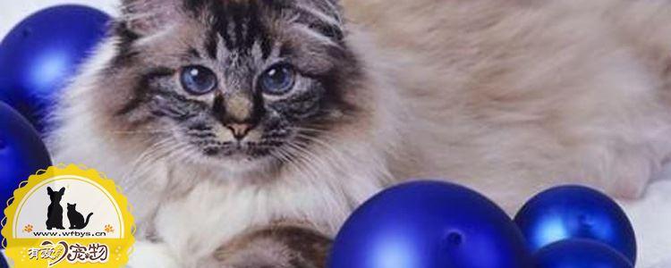 伯曼猫绝育后怎么护理 猫咪绝育后的护理禁忌