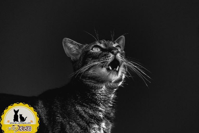 猫咪传腹 初期症状