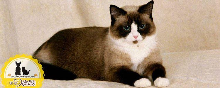 怎么帮伯曼猫接生 如何给伯曼猫接生