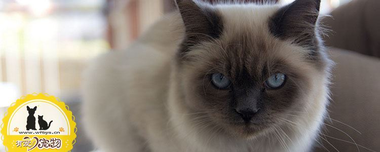 如何辨别伯曼猫是否怀孕 伯曼猫怀孕该如何判断