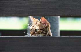 奥西猫肾衰怎么办 奥西猫肾衰治疗办法