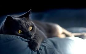 沙特尔猫肝炎怎么治疗 沙特尔猫肝炎治疗方法