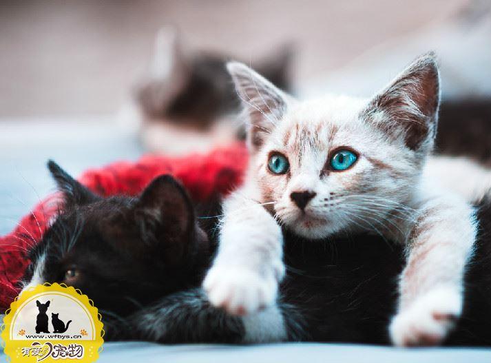 猫配种打架怎么办