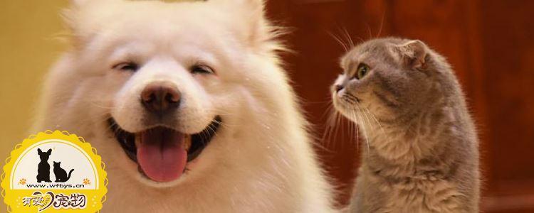 折耳猫发病吃什么药 软骨病可以治愈吗