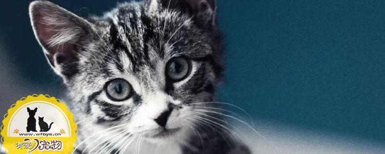 猫艾滋病是什么 猫艾滋会传染给人吗