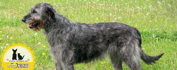 爱尔兰猎狼犬牙结石预防治疗方法 牙结石的患病原因