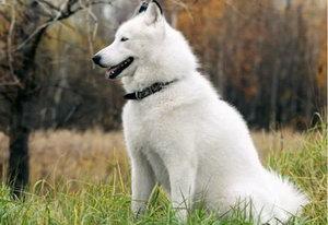芬兰波美拉尼亚丝毛狗性格好不好 芬兰狐狸犬性格怎么样