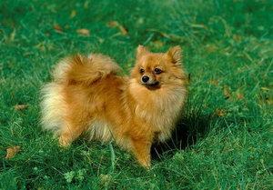 芬兰波美拉尼亚丝毛狗怎么洗澡 芬兰狐狸犬洗澡流程