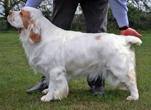 西班牙小猎犬休克怎么办 西班牙小猎犬休克治疗抢救方法