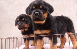 罗威纳犬舐触性皮炎怎么治疗 舐触性皮炎治疗方法