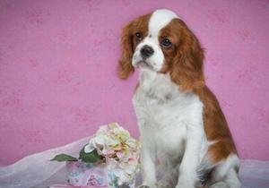 西班牙小猎犬得了心丝虫病怎么办