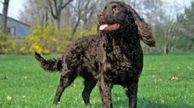 美国水猎犬毛发怎么修剪 大型美国水猎犬修剪方法