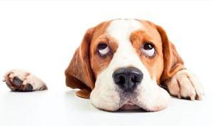 狗狗真菌性皮肤病怎么治疗