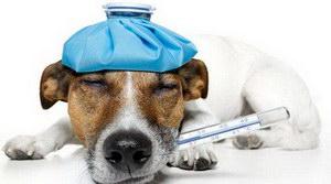 狗狗发烧吃什么药
