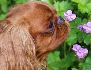 英国玩具猎鹬犬便秘如何治疗