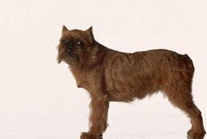 布鲁塞尔格里芬犬一直呕吐怎么办