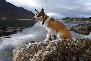 挪威伦德猎犬有耳螨怎么治疗 挪威伦德猎犬耳螨治疗方法