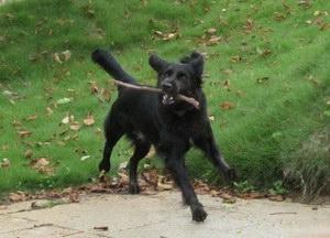 平毛寻回犬有蛔虫怎么办 平毛寻回猎犬蛔虫治疗方法