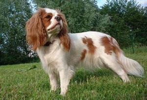 英国玩具猎鹬犬食管梗塞怎么办