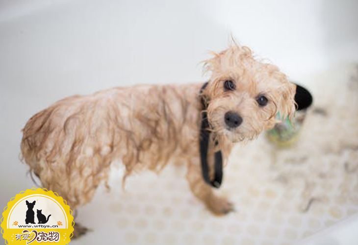 狗狗尿发黄怎么回事 狗狗也要和人类一样多喝水哦