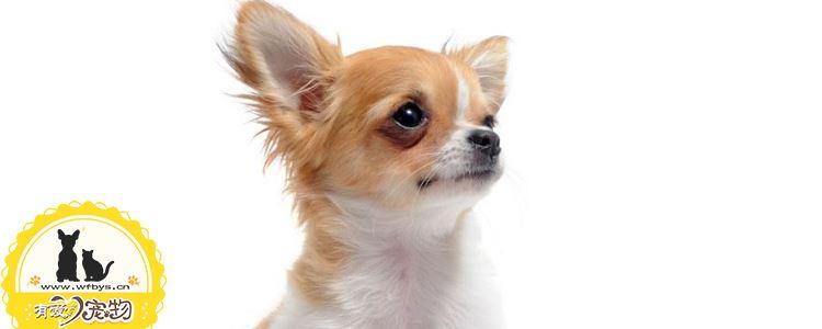 狗瘟症状 狗瘟怎么治疗