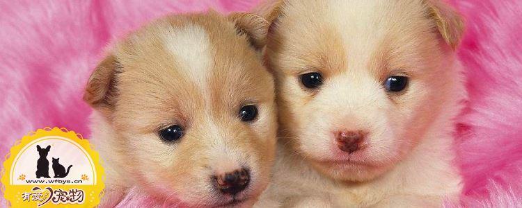 犬冠状病毒怎么治疗   犬冠状病毒的预防措施
