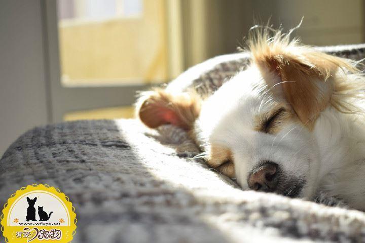 狗狗拉稀带血 需警惕犬瘟或细小