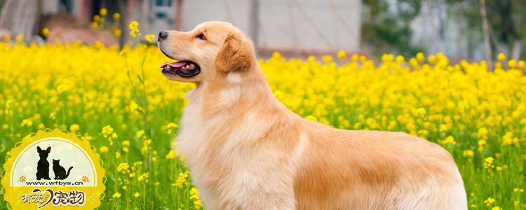 金毛寻回犬产前征兆有哪些 金毛犬产前主人需要观察的细节!