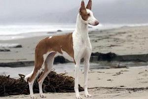 伊比赞猎犬发烧怎么解决 伊比赞猎犬发烧处理方案