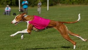 伊比赞猎犬感冒怎么办 伊比赞猎犬感冒治疗方法