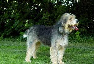 布雷猎犬有牙结石怎么办 伯瑞犬牙结石预防治疗方法