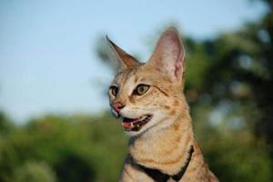 萨凡纳猫和薮猫的区别有哪些
